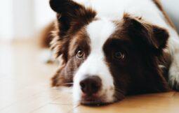alergia a cachorros